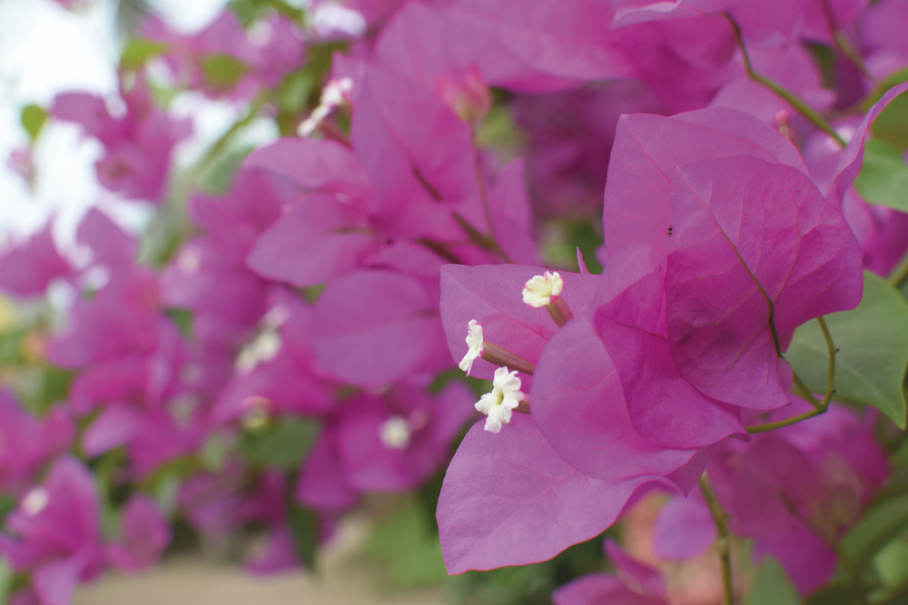 indien-blomma